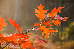 Red autumn leaves closeup. Closeup of yellow leaves in forest Royalty Free Stock Photo