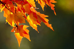 Red Autumn Leaves. Red leaves in early autumn on blurred background royalty free stock photo