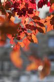 Red autumn leaves, fall season concept, blurred background.  stock image