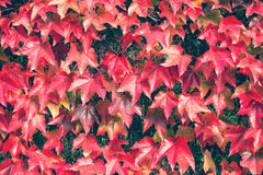 Red autumn leaves on the fence Stock Photography