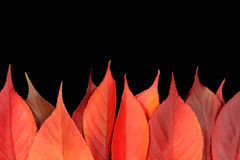 Red autumn leaves forming a firey flame. On a black background royalty free stock image