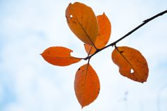 Red autumn leaves with frost over sky Royalty Free Stock Photography
