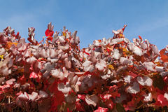 Red Autumn leaves of grapevine growing in Adelaide, South Austra Stock Photos