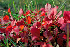 Red autumn leaves in the grass. Juicy red autumn leaves in green grass Royalty Free Stock Image