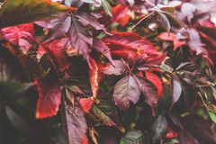 Red autumn leaves II Royalty Free Stock Photos