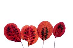 Red autumn leaves isolated. Four autumn patterned leaves red isolated on white background Stock Photos