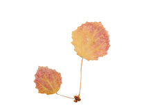 Red autumn leaves isolated on white Royalty Free Stock Images
