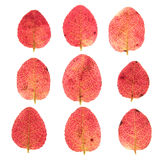Red autumn leaves isolated on white Stock Photo