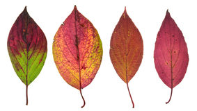 Red autumn leaves isolated on white Royalty Free Stock Image
