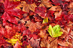 Red autumn leaves with a leaf green Stock Images