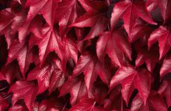 Red autumn leaves natural botanical fall background royalty free stock image