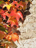 Autumn leaves. Red autumn leaves on old wall royalty free stock photo