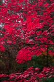 Red Autumn Leaves in the Pacific Northwest. Fall colors stock images