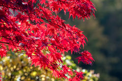 Red autumn leaves. Red leaves in autumn season Royalty Free Stock Photo