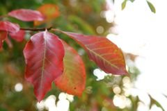 Red autumn leaves in shallow focus.  royalty free stock photos