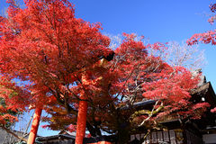 Red autumn leaves and shrine's Torii gate, Kyoto Japan. Royalty Free Stock Photography