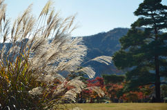 Red autumn leaves and silver grass, Japanese garden. The natural scene of leaves changing their colors into red in Japanese garden, Kyoto Japan autumn Royalty Free Stock Photography