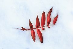 Red autumn Leaves on snow. Royalty Free Stock Photos