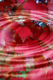 Red Autumn Leaves Splash. Circular splash as water droplet hits. Reflection of autumn leaves Royalty Free Stock Photos