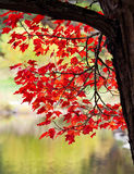 Red autumn leaves on tree Stock Photos