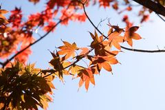 Red Autumn Leaves on Tree 2 Royalty Free Stock Photos