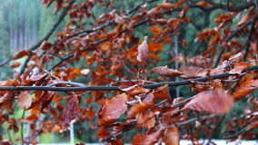 Red autumn leaves on a tree stock video