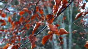 Red autumn leaves on a tree stock footage