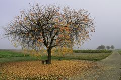Red Autumn Leaves Tree At Foggy Morning Hour stock photo