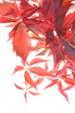Red autumn leaves vines Royalty Free Stock Image