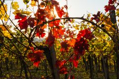 Sun shinning through vineyard, Autumn colors in vineyard royalty free stock photo