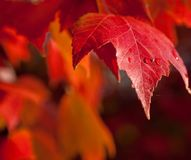 Red Autumn leaves with water. A brilliant red autumn leaf with 3 drops of rain is in focus against a blurred background of orange red leaves on this colorful Stock Images