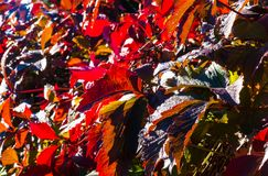 Red autumn leaves. Of wild grapes Stock Image