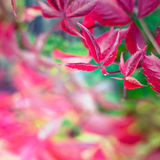 Red autumn leaves of wild vine. Royalty Free Stock Photos