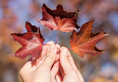 Red autumn leaves in womans hand Royalty Free Stock Photography