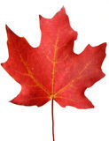 Red autumn Maple leaf. Vibrant red Maple autumn leaf Royalty Free Stock Photo
