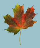 Red autumn maple leaf. On blu background stock image