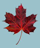 Red autumn maple leaf. On blu background royalty free stock image