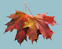 Red autumn maple leaf. On blu background royalty free stock photography