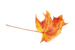 Red autumn maple leaf Royalty Free Stock Image