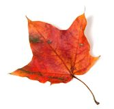 Red autumn maple leaf Stock Images