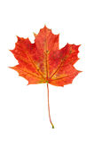 Red autumn maple leaf isolated on white background Stock Photography