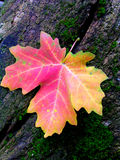 Red Autumn Maple Leaf on Mossy Tree Stump. One single autumn red maple leaf on mossy old tree stump Royalty Free Stock Photos