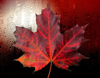 Red autumn maple leaf in rain. Red autumn maple leaf with fine vein on background flow in rain stock photo