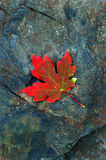 Red Autumn Maple Leaf on Rock. Autumn Red Maple Leaf on Gray Smooth Rock Stock Image