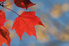 Red autumn maple leaf Royalty Free Stock Images