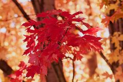 Red autumn leaves. Red Autumn maple leaves in the autumn Royalty Free Stock Image