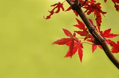 Red autumn maple leaves Royalty Free Stock Photo