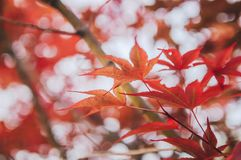 Red autumn maple leaves background. Closed up of maple leaves during autumn season. Focus on some object with blurry background stock photo