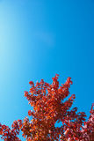 Red autumn maple leaves with blue sky. Fall red maple tree with blue sky copyspace Stock Image