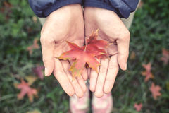 Red autumn maple leaves fall in hands Stock Image